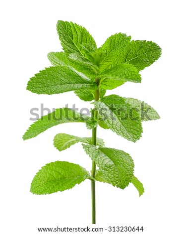mint sprig isolated on white background - stock photo