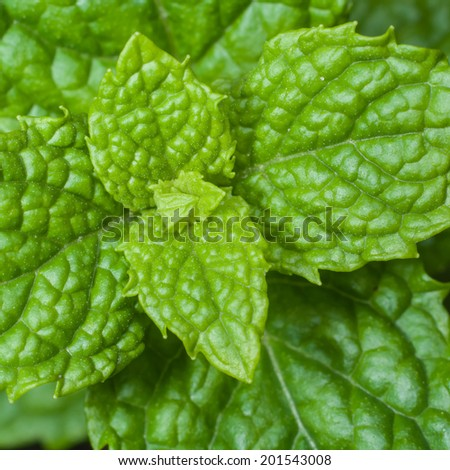 Mint, vegetable close up