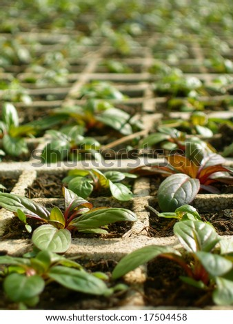 Mints growing up in a greenhouse. - stock photo