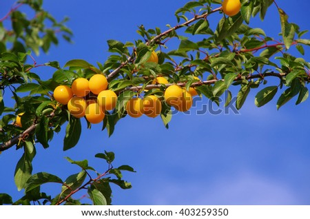 mirabelle plums at the tree  - stock photo