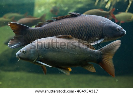 Mirror carp (Cyprinus carpio carpio) and wild common carp (Cyprinus carpio) in the background. Wild life animal.
