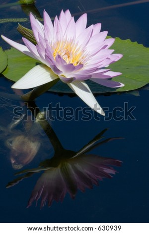 MIRROR REFLECTIONS OF THE WATER LILY CLOSE UP