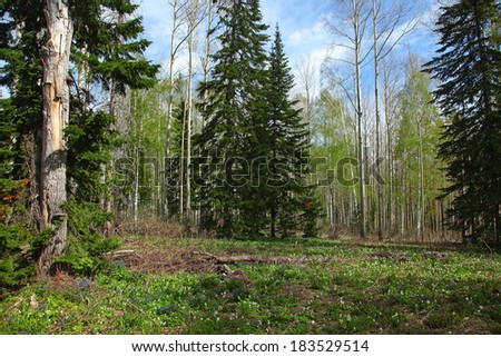 miscellaneous forest at spring in altai - stock photo