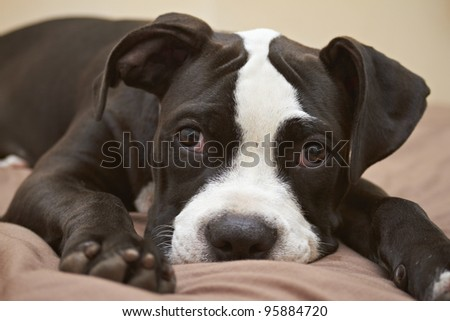 Mischievous face of Pit Bull puppy - stock photo