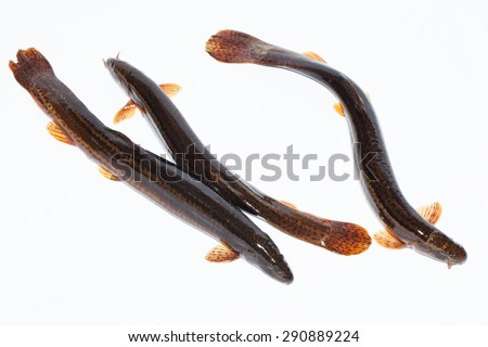 Misgurnus fossilis, European weatherfish. Object in front of white background, isolated. - stock photo