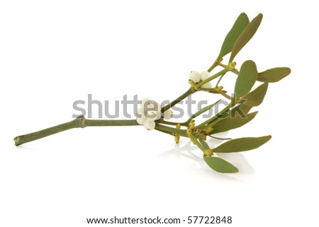 Mistletoe leaf and berry sprig isolated over white background. - stock photo
