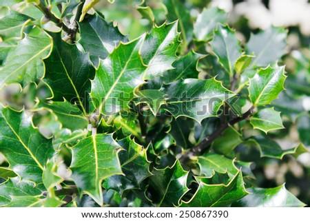mistletoe plant - stock photo