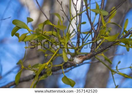 mistletoe plant on a tree - stock photo