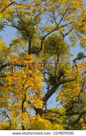 Mistletoes on convoluted tree with yellow leaves in autumn - stock photo