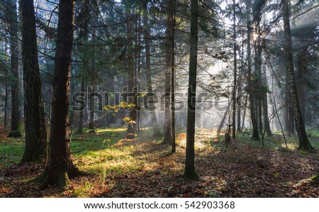 Misty autumnal coniferous stand in morning with sunbeams entering, Bialowieza Forest, Poland, Europe
