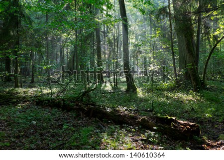 Misty deciduous stand rain after with old broken tree in foreground - stock photo