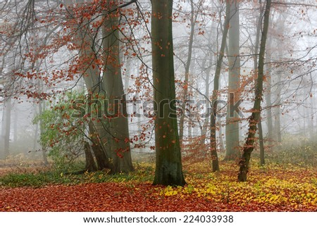 Misty forest in autumn. Trees with green and red leaves in the autumn forest in foggy day. - stock photo