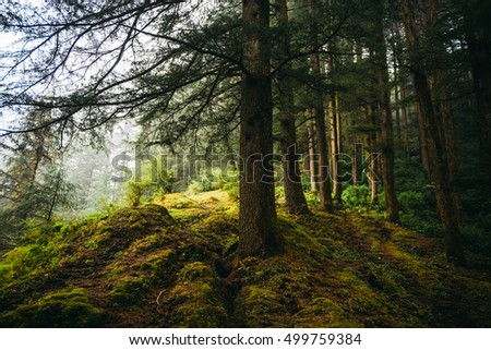 Misty forest in the mountains. Fogy forest in Dharamkot, India