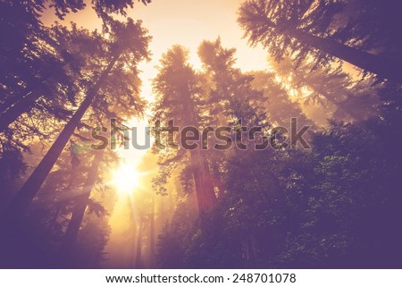 Misty Forest Trail. Magic Redwood Forest Scenery in Warm Vintage Color Grading. - stock photo