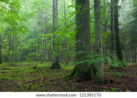 Misty morning deciduous stand with old oak tree in foreground and spruces in background - stock photo