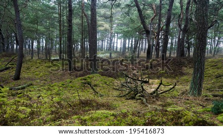 misty morning in a pine forest at the Island of Ruegen