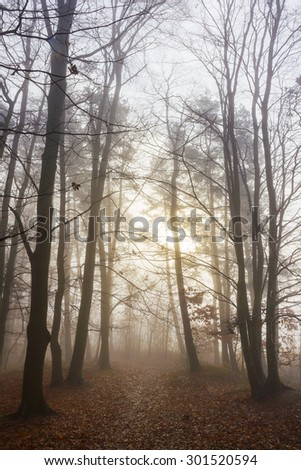 Misty Morning in autumn forest, trees without leaves. Path leading into the fog. Rising sun shining through the fog. Both romantic and mystical scene.