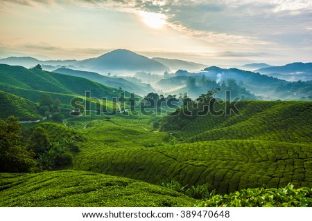 Misty morning in Cameron Highlands tea plantation. 1 - stock photo