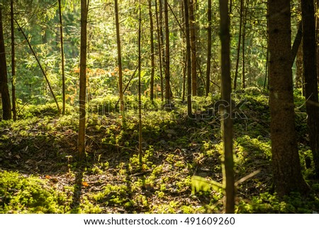 Misty morning in the woods. forest with tree trunks, sun and rays of light