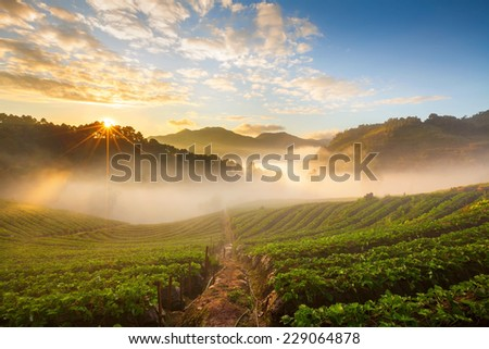 misty morning sunrise in strawberry garden at Doi Ang-khang mountain, chiangmai : thailand  - stock photo
