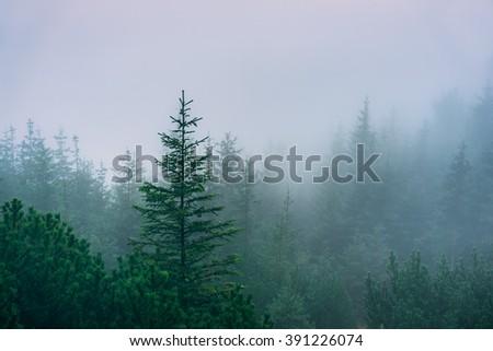 Misty mountain forest. Western Tatra Mountains, Poland - stock photo