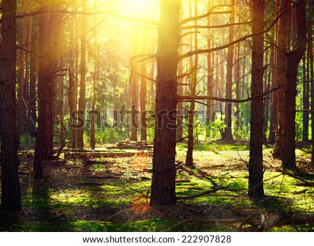 Misty Old Forest. Autumn Woods with sunlight - stock photo