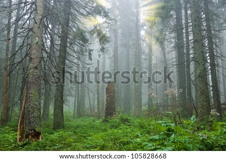 misty pine tree forest - stock photo
