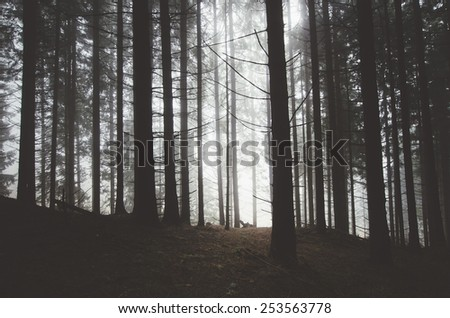misty pine tree forest after rain - stock photo
