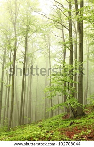 Misty spring beech forest on the mountain slope. - stock photo