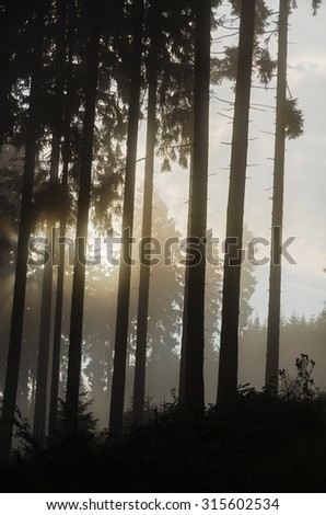 Misty spruce forest in the morning. Sun beams in a spruce forest in Germany near Bad Berleburg. High contrast and backlit scene. - stock photo