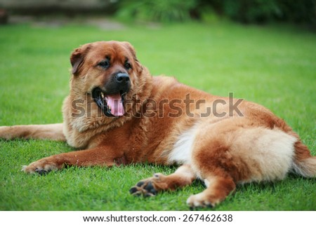 Mix breed Chow Chow dog sitting on green grass field - stock photo