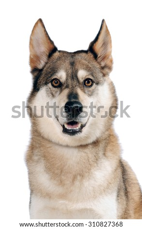 Mix breed dog portrait looks at  the camera, isolated on white background