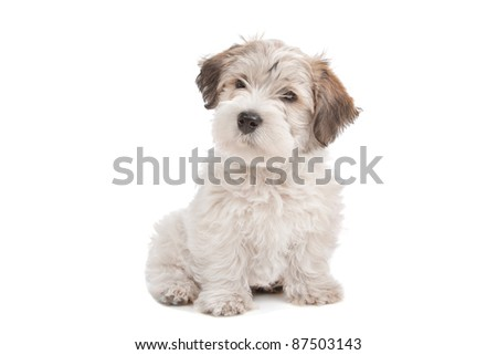mix Maltese Puppy dog in front of a white background - stock photo