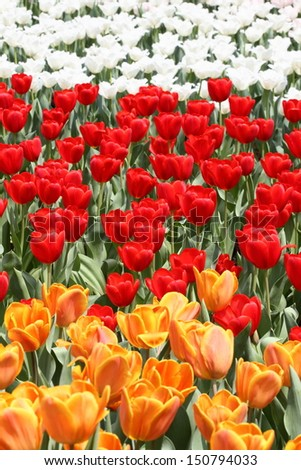 mix of colorful tulips in spring