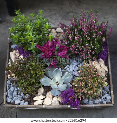 mix of flowers: big purple rosette echeveria with simple heather  - stock photo