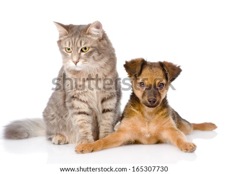 mixed bred puppy and gray cat together. isolated on white background