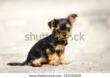 Mixed-bred puppy. Mix of Yorkshire Terrier and Chihuahua. - stock photo