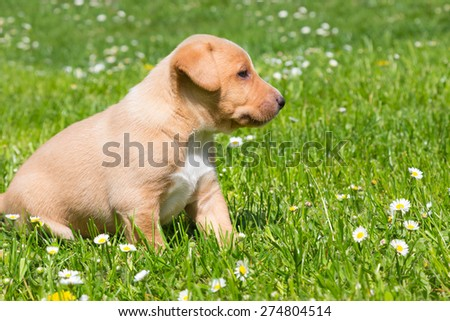 Mixed-breed adorable cute little puppy outdoors on a meadow on a sunny spring day. - stock photo