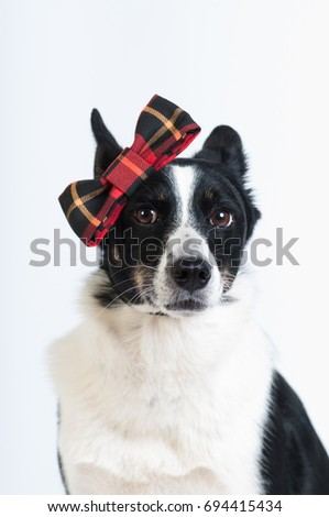 Mixed breed black and white dog at studio portrait
