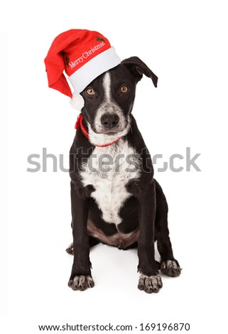 Mixed breed black and white puppy wearing a red collar and Santa hat that says Merry Christmas
