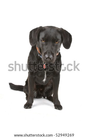 mixed breed black dog in front of a white background