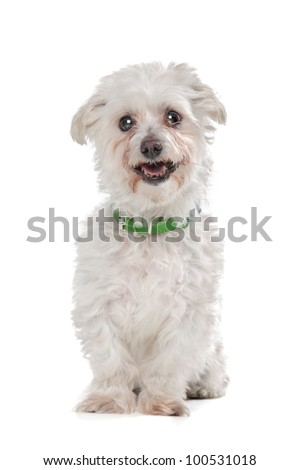 mixed breed boomer dog in front of a white background