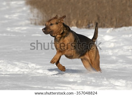 Mixed breed Boxer Shepherd dog running in snow