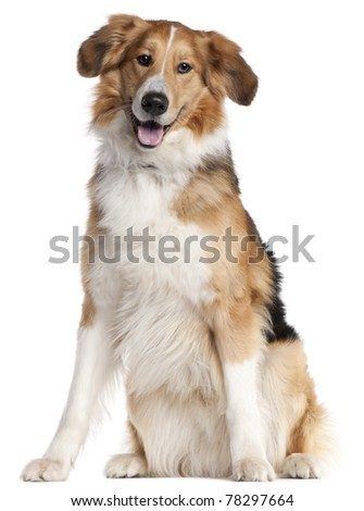 Mixed-breed dog, 2 and a half years old, sitting in front of white background