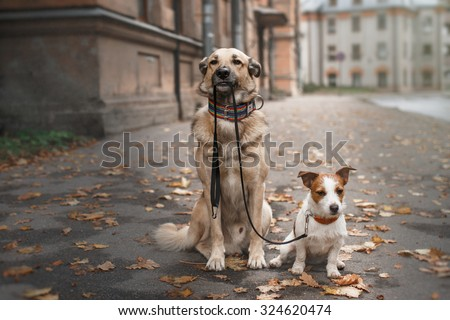 Mixed breed dog  and Jack Russell Terrier  walking in autumn park - stock photo