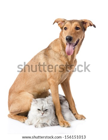 mixed breed dog and persian cat. looking at camera. isolated on white background