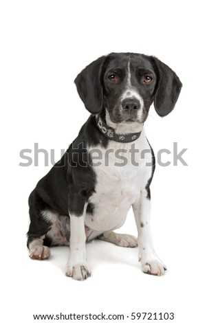 mixed breed dog (Beagle, cocker spaniel) isolated on white