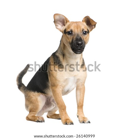 Mixed-Breed Dog between a jack russel and a pinscher (7 months) in front of a white background