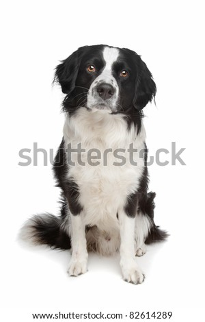 mixed breed dog. Border collie and Frisian pointer dog