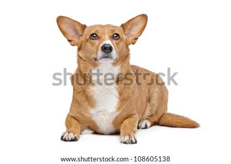 Mixed breed dog. Corgi and German Shepherd mix. - stock photo